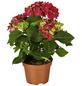 GARTENKRONE Hortensie »Hydrangea Macrophylla«, Rot-Thumbnail