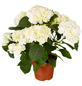 GARTENKRONE Hortensie »Hydrangea Macrophylla«, Weiß-Thumbnail