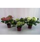 GARTENKRONE Hortensie macrophylla Hydrangea-Thumbnail