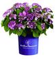 Hortensie macrophylla Hydrangea »Summer Love«-Thumbnail