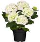 Hortensie macrophylla Hydrangea, Topf: 19 cm-Thumbnail