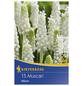 KIEPENKERL Hyazinthe botryoides Muscari-Thumbnail