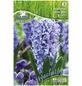 PEGASUS Hyazinthe Hyacinthus orientalis Hyacinthus orientalis »Hyacinthus orientalis«-Thumbnail