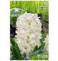 PEGASUS Hyazinthe orientalis Hyacinthus-Thumbnail