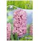 KIEPENKERL Hyazinthe orientalis Hyacinthus-Thumbnail