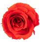 »Infinity-Bloom«, 12er-Pack konservierte Rosenköpfe, orange-Thumbnail