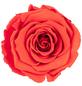 »Infinity-Bloom«, 6er-Pack konservierte Rosenköpfe, orange-Thumbnail