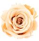 Infinity-Bloom  »Infinity-Bloom«, konservierte Rosenköpfe, max. Wuchshöhe: 3,5  cm, mehrjährig-Thumbnail