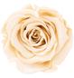 Infinity-Bloom  »Infinity-Bloom«, konservierte Rosenköpfe, max. Wuchshöhe: 6,5  cm-Thumbnail