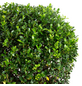Japanische Stechpalme Crenata Ilex »Convexa«-Thumbnail