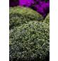 GARTENKRONE Japanische Stechpalme, Ilex crenata »Convexa«, weiß, winterhart-Thumbnail