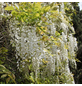 GARTENKRONE Japanischer Blauregen, Wisteria floribunda »Longissima Alba«, weiß, winterhart-Thumbnail