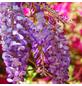 GARTENKRONE Japanischer Blauregen, Wisteria floribunda »Rosea«, Blüten: rosa-Thumbnail