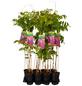 GARTENKRONE Japanischer Blauregen, Wisteria floribunda »Rosea«, rosa, winterhart-Thumbnail