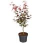 GARTENKRONE Japanischer Fächerahorn, Acer palmatum »Atropurpureum«, Blattfarbe rot-Thumbnail