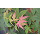 GARTENKRONE Japanischer Fächerahorn, Acer palmatum »Osakazuki«, Blattfarbe grün-Thumbnail
