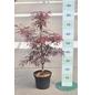 GARTENKRONE Japanischer Fächerahorn, Acer palmatum »Tamukeyama«, Blattfarbe rot-Thumbnail