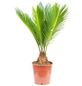Japanischer Palmfarn Cycas revoluta-Thumbnail