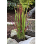 Japanisches Blutgras cylindrica Imperata »Red Baron«-Thumbnail