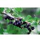 GARTENKRONE Johannisbeere, Ribes nigrum »Ben Sarek« Blüten: weiß, Früchte: schwarz, essbar-Thumbnail