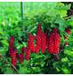 GARTENKRONE Johannisbeere, Ribes rubrum »Jonkheer V. Tets« Blüten: weiß, Früchte: rot, essbar-Thumbnail