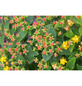 GARTENKRONE Johanniskraut Hypericum inodorum »Magical Beauty -R-«-Thumbnail