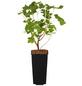 GARTENKRONE Jostabeere, Ribes nidigrolaria Blüten: weiß, Früchte: schwarz, essbar-Thumbnail