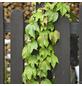 GARTENKRONE Jungfernrebe, Parthenocissus tricuspidata »Veitchii«, creme, winterhart-Thumbnail