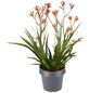 GARTENKRONE Känguru-Blume »Anigozanthos Hybrid«, Rot-Thumbnail