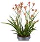 GARTENKRONE Känguruhpfote, Anigozanthos hybrid »Flavida«, Blüte: rot-Thumbnail
