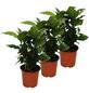 Kaffeepflanze 3er Set Coffea arabica-Thumbnail