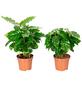Kaffepflanze 2er Set Coffea arabica-Thumbnail