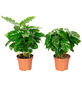 Kaffepflanze 2er Set, Coffea arabica, im Kunststoff-Kulturtopf-Thumbnail