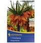 KIEPENKERL Kaiserkrone imperialis Fritillaria-Thumbnail