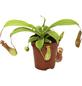 Kannenpflanze Nepenthes-Thumbnail