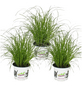 Katzengras 3er Set Cyperus zumula-Thumbnail