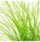 GARTENKRONE Katzengras Cyperus zumula-Thumbnail