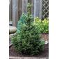 Kegel-Fichte Picea abies »Will's Zwerg«-Thumbnail