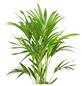 GARTENKRONE Kentiapalme, Howea Forsteriana, Topf-Ø: 21cm-Thumbnail