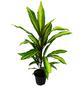 Keulenlilie 3er Set Cordyline fruticosa-Thumbnail