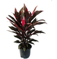 Keulenlilie Cordyline fruticosa-Thumbnail