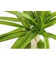 KIBONU Kibonu Drachenbaum Dracaena marginata-Thumbnail