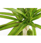 KIBONU Kibonu Drachenbaum, Dracaena marginata »Dracaena Marginata«,-Thumbnail