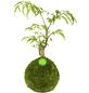 KIBONU Kibonu Fiederaralie, Polyscias fruticosa-Thumbnail