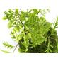 KIBONU Kibonu Fiederaralie, Polyscias fruticosa »Polyscias Fruticosa«,-Thumbnail
