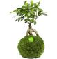 KIBONU Kibonu Ginseng, Ficus ginseng-Thumbnail