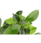 KIBONU Kibonu Ginseng Ficus ginseng-Thumbnail