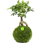 KIBONU Kibonu Ginseng, Ficus ginseng »Ficus Ginseng«,-Thumbnail
