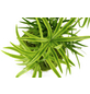 KIBONU Kibonu Sichelblägttriger Zierspargel, Asparagus falcatus »Asparagus Falcatus«,-Thumbnail