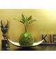 KIBONU Kibonu Wunderstrauch, Codiaeum batic »Codiaeum Batic«,-Thumbnail